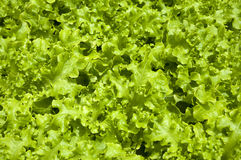 Lettuce, Organic, Healthy food Royalty Free Stock Images