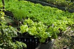 Lettuce organic vegetables  farm Stock Image