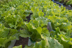 Lettuce organic vegetables  farm Royalty Free Stock Image