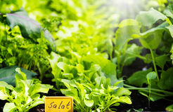 Lettuce and other crops, raised bed. Lettuce and other crops in the raised bed Royalty Free Stock Image