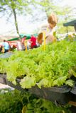 Lettuce and other seedlings royalty free stock image