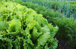 Lettuce and other vegetables in the garden. Iceberg lettuce leaves and vegetables in the garden beds Stock Images