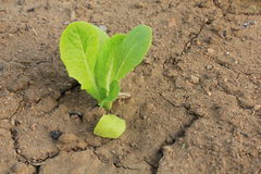 Lettuce Outbreak Stock Photography