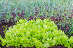 Lettuce patch with a fresh green look Royalty Free Stock Images