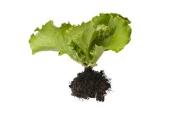 Lettuce plant Royalty Free Stock Images