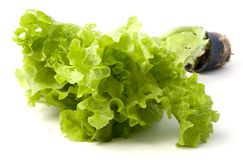 Lettuce plant. On a light background Royalty Free Stock Photo