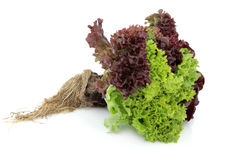 Lettuce Plant. Lettuce variety with root ball of lollo rossa, red and green batavian grown in the same plant over white background. Focus on lettuce stock photo