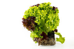 Lettuce plant royalty free stock photos