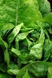 Lettuce Plant Stock Photos