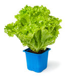 Lettuce plant in a blue pot Royalty Free Stock Photography
