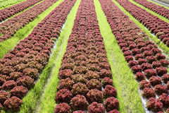 Lettuce plant in farmland. Healthy green salad and red lettuce grown in the farmland Royalty Free Stock Photo