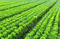 Lettuce plant in field Stock Photography