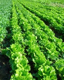 Lettuce plant in field Stock Image