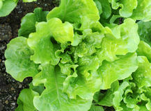 Lettuce plant in field Royalty Free Stock Image