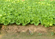 Lettuce plant in field Royalty Free Stock Photo