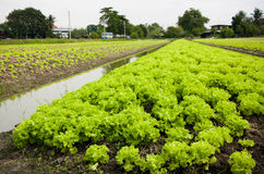Lettuce plant in field Royalty Free Stock Photography