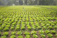 Lettuce plant in field Stock Images
