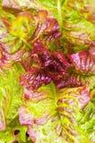 Lettuce plant in field. Green lettuce growing in vegetable garden Royalty Free Stock Image