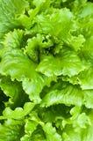 Lettuce plant in field. Green lettuce growing in vegetable garden Stock Images