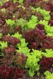 Lettuce plant in field Stock Image