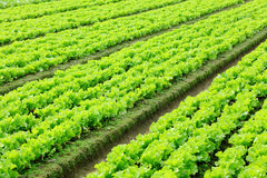 Lettuce plant in field Royalty Free Stock Images