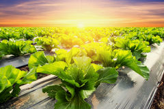 Lettuce plant on field vegetable and agriculture sunset and ligh Royalty Free Stock Photo