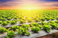 Lettuce plant on field vegetable and agriculture sunset and ligh. T Stock Images