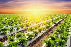 Lettuce plant on field vegetable and agriculture sunset and ligh Stock Images