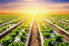 Lettuce plant on field vegetable and agriculture sunset and ligh Stock Photos