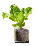 Lettuce plant growing in recycled plastic bottle Royalty Free Stock Photo