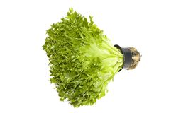Lettuce plant in a pot Royalty Free Stock Photo