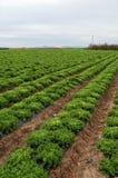 Lettuce plantation Stock Image