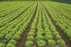 Lettuce plantation Royalty Free Stock Photography