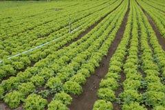 Lettuce plantation Royalty Free Stock Image