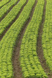 Lettuce plantation Stock Images
