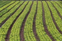 Lettuce plantation Stock Photo