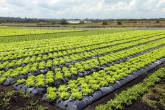 Lettuce plantation Royalty Free Stock Images