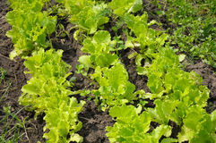 Lettuce planting. The rows of lettuce planting in a natural scene stock image