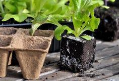 Lettuce plants Stock Images