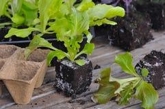 Lettuce plants Royalty Free Stock Photos