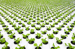 Lettuce plants Stock Photo