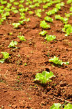 Lettuce plants on a field Stock Photo