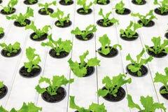 Lettuce plants Stock Photo