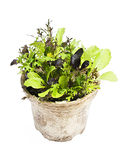 Lettuce plants in pot Stock Image