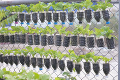 Lettuce plants potted. In used water bottle Royalty Free Stock Photos