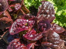Lettuce plants in a raised bed Royalty Free Stock Photos