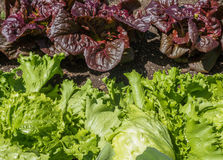 Lettuce plants in a raised bed Stock Photography