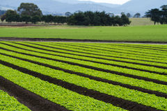 Lettuce plants in rows in farm field. Rows of baby loose leaf lettuce plants in farm field Royalty Free Stock Photos
