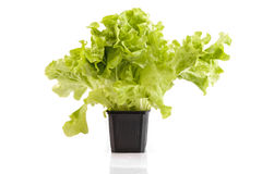 Lettuce in a plastic pot Royalty Free Stock Photography