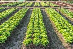 Lettuce in plots Royalty Free Stock Photo
